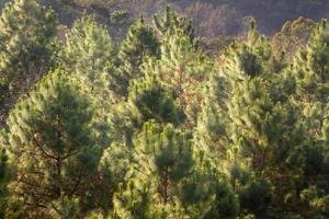top van dennenbos in de mist foto