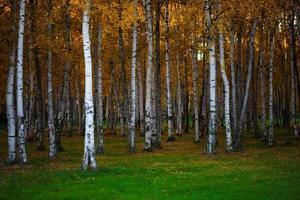 herfstlandschap, dicht berkenbos, natuurlijke achtergrond foto