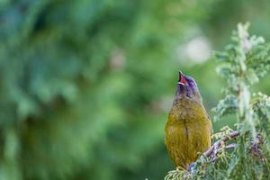 populaire vogel van Nieuw-Zeeland in aardbos. foto