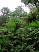 reuzenvaren in een bos van Tasmanië foto