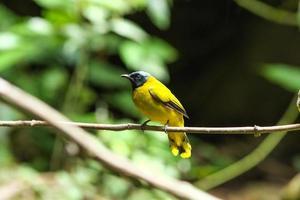 zwartkopbuulbuul (pycnonotus atriceps) vogel foto