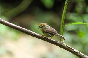 gestreepte meesbabbelkous (macronus gularis) foto