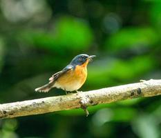 tickell's blauw-vliegenvanger zitstokken op een tak foto