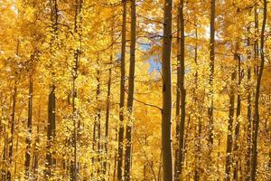 gouden herfstbladeren in bos in de buurt van durango, colorado foto