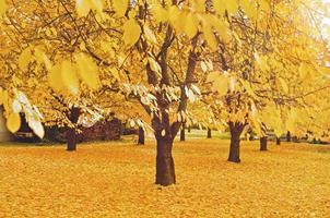 kersenbomen met bladeren - tapijt in de herfst foto