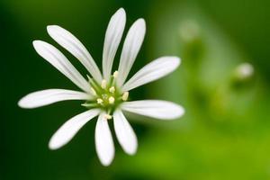 stellaria nemorum foto