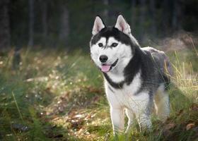 Siberische husky foto
