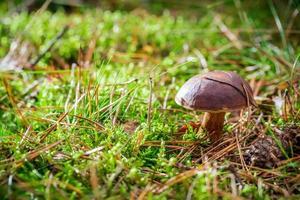 kleine boletus op mos in bos foto