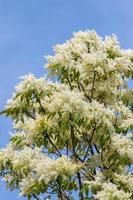 ash tree bloemen
