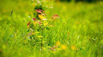 jonge esdoorn van rostet is in een gras. foto