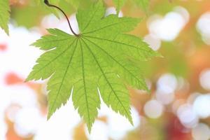 groene esdoorn