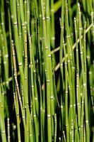 bamboe scheuten foto