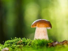 boletus edulis in het bos