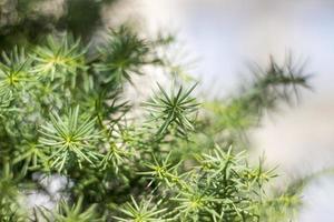 dennenboom bladeren foto