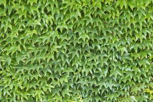 muur van groene bladeren