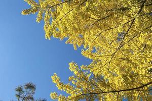 ginkgo van herfstbladeren foto