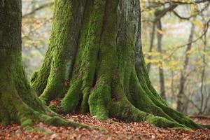 alte bäume im urwald reinhardswald foto