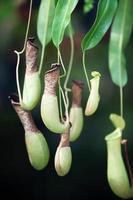 tropische bekerplant foto