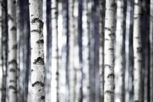 berkenbomen in blauw
