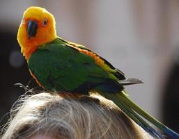 geelgroene parkietvogel foto