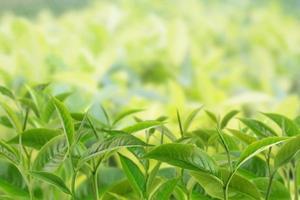 theeblaadjes op een plantage in de stralen van het zonlicht foto