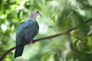 groene keizerduif foto