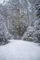 weg bedekt met sneeuw in eucalyptusbos in Australië foto