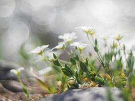 vogelmuur bloem foto