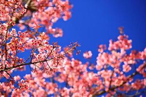 kersenbloesems bloeien in Thailand in het nationale park doi inthanon