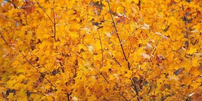 blad goud