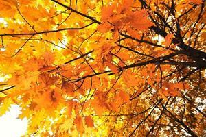 esdoorn in de herfst foto
