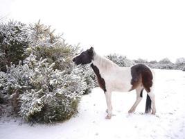 wilde bonte geschilderde pony eten gaspeldoorn new forest winter foto