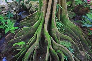 wortel van de boom. de wortels van de boom foto