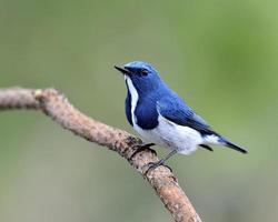 prachtige blauwe vogel, ultramarijn vliegenvanger, zitstokken op tak foto
