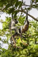 bedreigde zanzibar rode colobus aap (procolobus kirkii), joza