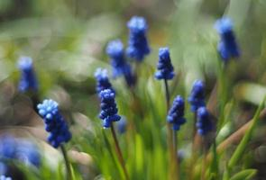muizenhyacint bloemen foto