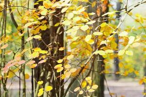 gele bladeren op takken in de herfst foto