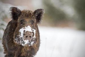 everzwijn met sneeuw op snuit