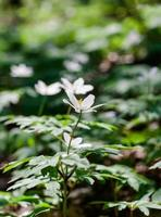 witte anemonen foto