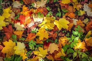 achtergrond van heldere herfstbladeren van een esdoorn