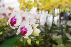 orchidaceae foto