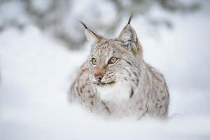 europese lynx foto
