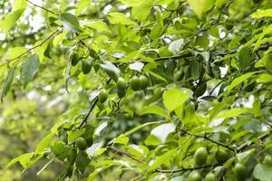 takken van een onrijpe wilde kersenpruim in het bos