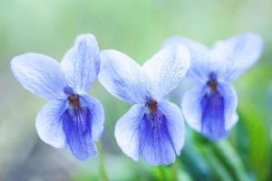 violette geur