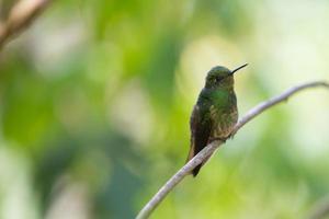kolibrie, colombia foto