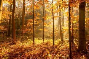 bos in de herfst, de zonnestralen verlichten de mist foto