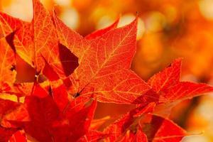 rode bladeren in de herfst foto