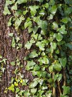 klimplant in een boom