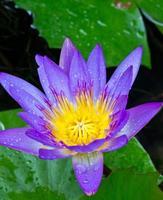 paarse lotusbloem met geel stuifmeel.