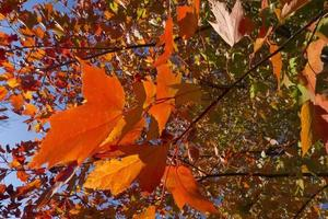 herfst esdoorn bladeren